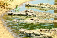 Crocodiles - Kariba Lake, Zimbabwe. Crocodiles sunbathing in the water - Kariba Lake, Zimbabwe Royalty Free Stock Photos