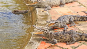 Crocodiles lie on stone bank of artificial lake in tropical park stock footage
