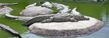 Panoramic view of crocodiles that lie on the sun Royalty Free Stock Photos