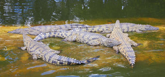 Crocodiles. Lie in the water Royalty Free Stock Photos