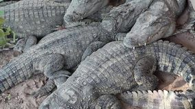 Crocodiles lying on the ground. Big crocodiles lying on the ground stock video footage