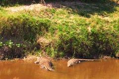 Crocodiles in Masai Mara Stock Photo