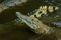 Crocodiles Masai Mara Stock Image