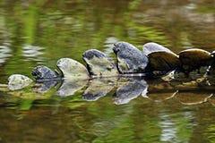 Crocodiles Masai Mara Royalty Free Stock Images