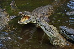 Crocodiles Masai Mara Stock Photos
