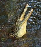 Crocodiles Masai Mara Royalty Free Stock Photo