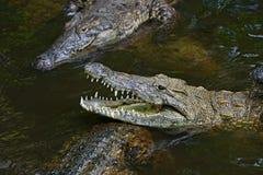 Crocodiles Masai Mara Royalty Free Stock Photos