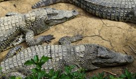 Crocodiles menteur photo stock