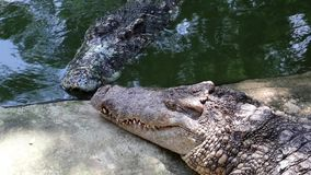 Crocodiles near green water. Crocodiles near the green water stock video