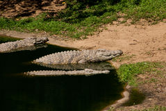 Crocodiles Royalty Free Stock Images