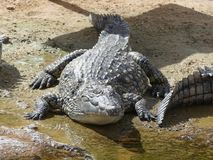 Crocodiles of the nile Royalty Free Stock Images