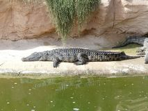 Crocodiles of the nile. Crocodile farm in Morocco agadir to relocate the breed Royalty Free Stock Photo