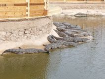 Crocodiles of the nile. Crocodile farm in Morocco agadir to relocate the breed Stock Photography