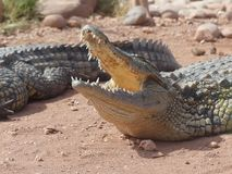 Crocodiles of the nile Stock Images