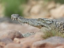 Crocodiles of the nile. Crocodile farm in Morocco agadir to relocate the breed Stock Images