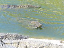 Crocodiles of the nile. Crocodile farm in Morocco agadir to relocate the breed Royalty Free Stock Photography