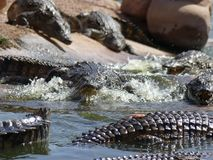 Crocodiles of the nile Royalty Free Stock Photography
