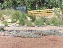 Crocodiles of the nile. Crocodile farm in Morocco agadir to relocate the breed Royalty Free Stock Images