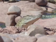 Crocodiles of the nile. Crocodile farm in Morocco agadir to relocate the breed stock photography