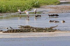 Crocodiles on the Nile River Royalty Free Stock Image