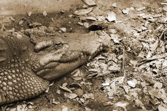 Crocodiles are old leech on the body. Royalty Free Stock Images