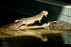 Crocodiles with open mouth. Stock Photography