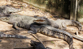 Crocodiles with open mouth Royalty Free Stock Photo