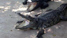 Crocodiles with open mouths. Two big crocodiles with open mouths stock video footage