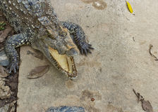 Crocodiles open your mouth Royalty Free Stock Images
