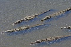 Crocodiles on Patrol in a Tropical River Stock Images