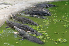 Crocodiles. In pond Stock Images