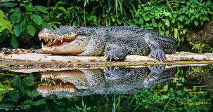 Crocodiles on pond at the zoo Royalty Free Stock Photo