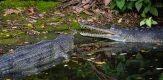 Crocodiles on pond at the zoo Stock Image