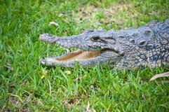 Crocodiles. Stock Photos
