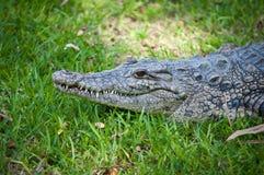 Crocodiles. Stock Photography