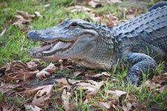 Crocodiles. Stock Images