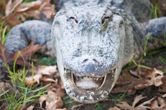 Crocodiles. Royalty Free Stock Photography
