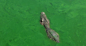 Crocodiles Resting at Crocodile Farm Stock Photos