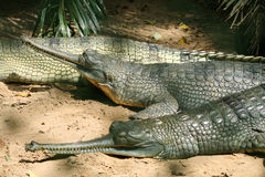 Crocodiles resting in the park. India Stock Photos
