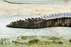 Crocodiles Resting at Samut Prakan Crocodile Farm and Zoo, Thail Stock Image