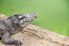 Crocodiles Resting at Samut Prakan Crocodile Farm and Zoo, Thail Royalty Free Stock Photo