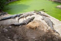 Crocodiles Resting at Samut Prakan Crocodile Farm and Zoo, Thail Stock Photo