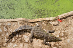 Crocodiles Resting at Samut Prakan Crocodile Farm and Zoo, Thail Stock Photography