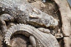 Crocodiles Resting at Samut Prakan Crocodile Farm and Zoo, Thail Royalty Free Stock Image