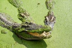 Crocodiles Resting at Samut Prakan Crocodile Farm and Zoo, Thail Royalty Free Stock Photos
