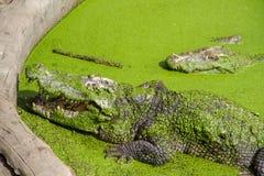 Crocodiles Resting at Samut Prakan Crocodile Farm and Zoo, Thail. And Stock Photo