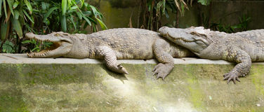 Crocodiles resting in the sun Stock Photography