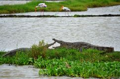 Crocodiles in the rice fields, Srí Lanka Royalty Free Stock Images