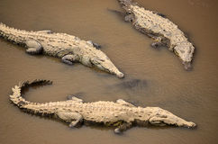 Crocodiles in a river in Costa Rica Stock Images