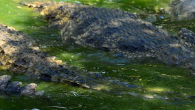 Crocodiles in a river of a natural park. Crocodile or alligator in a river of a natural park or zoo stock footage